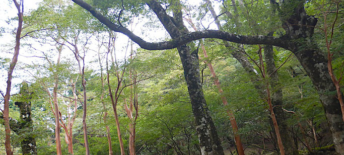 ブナとヒメシャラの森
