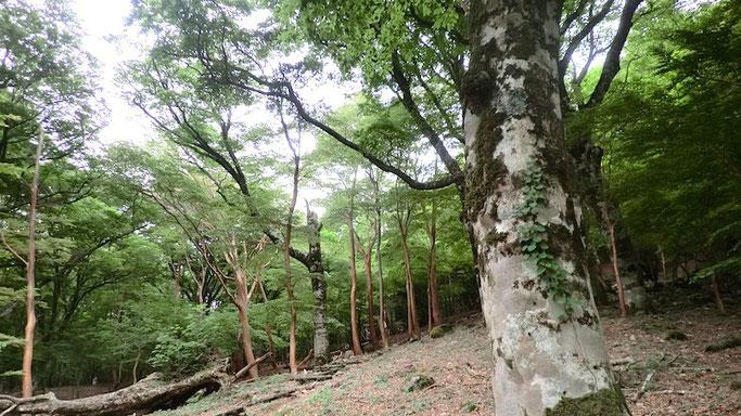 水生地のブナ林
