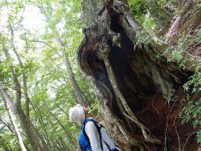 ミズナラ 巨木