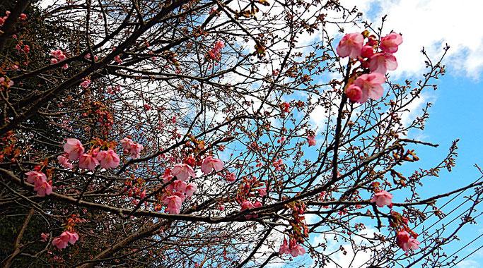 河津桜 ?