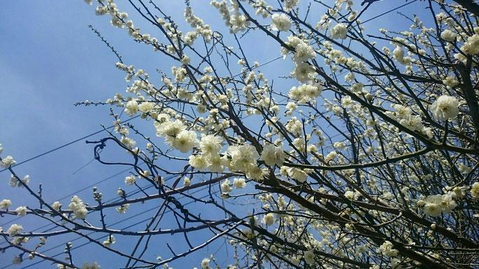 通勤途中に梅が咲いていました。