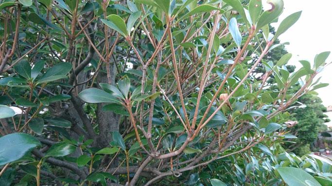 モッコクの枝の様子