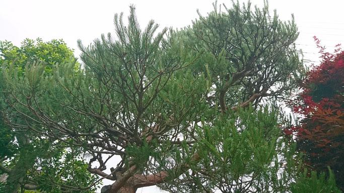 赤松 緑摘み前