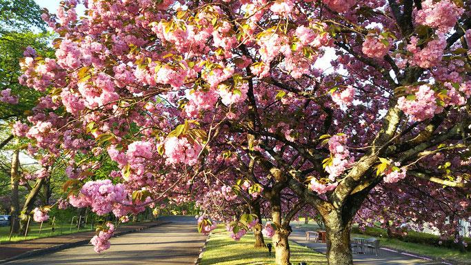 ゆと森倶楽部正面の八重桜が満開です(2017.5.8朝)。