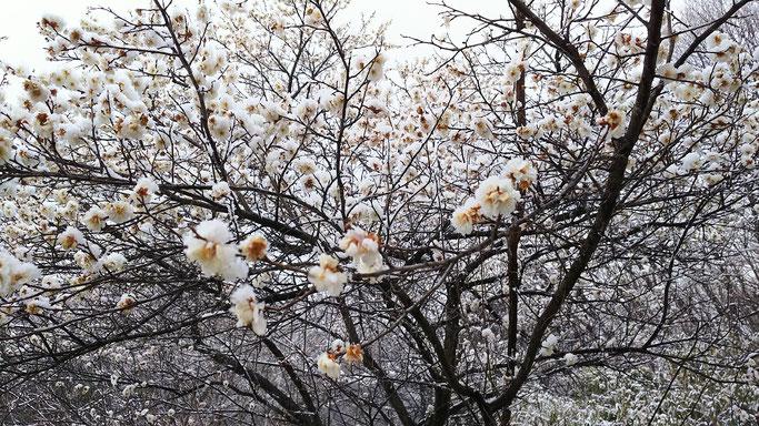 梅の花に雪です。