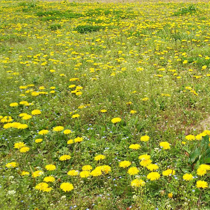 4月17日 福島市内、休耕田のタンポポ群生