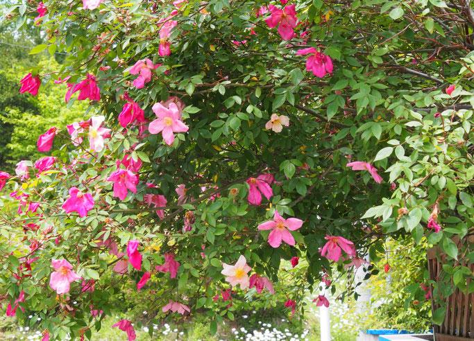 塀のムタビリスが次々と咲いて、ようやく庭の薔薇も咲き始めました。