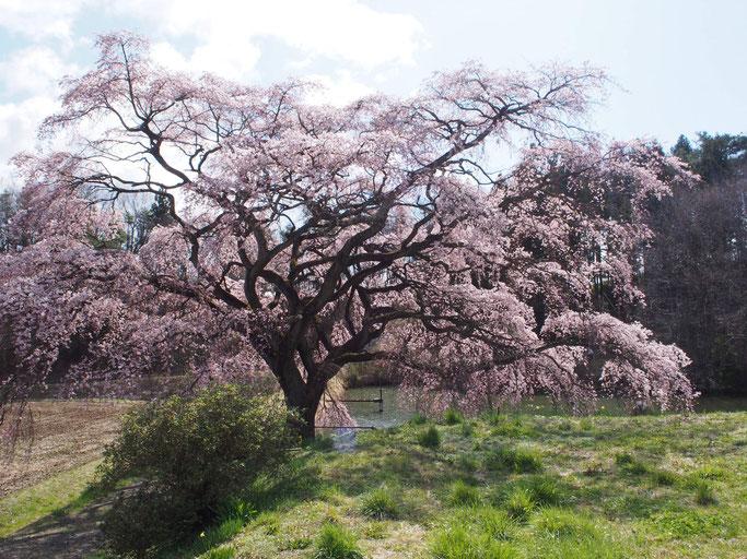 4月6日、母と豊水桜を見に。新型コロナウィルス騒動で車からちょっとだけ降りました。