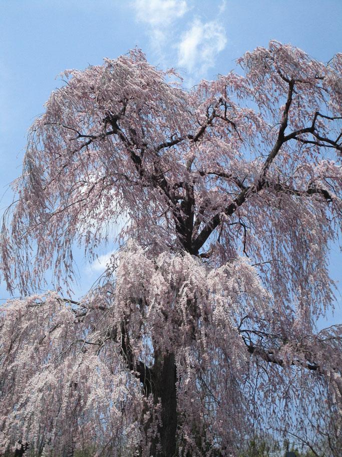 4月16日 桑折町常称寺、樹齢160年の枝垂桜。八分咲きとのことです。