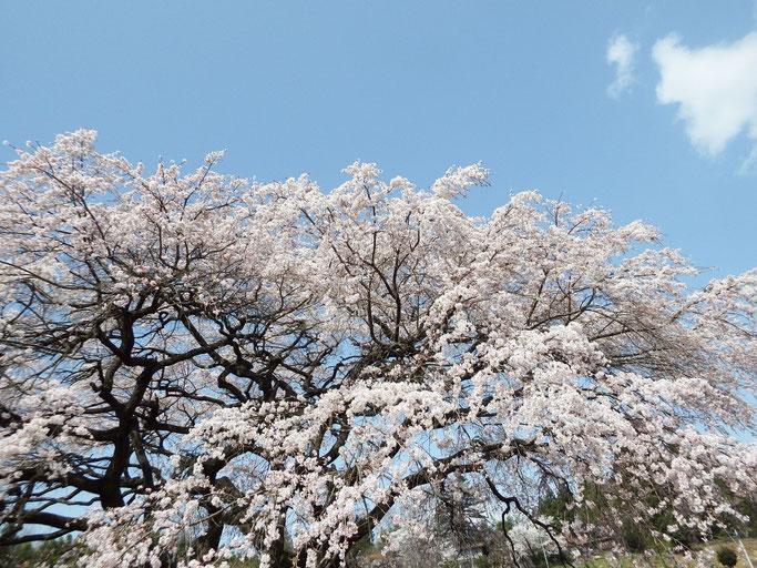 豊水桜、見事でした。