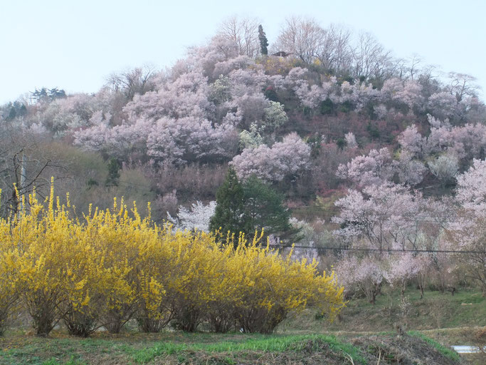 東北は一番素敵な季節を迎えます。写真は福島市「花見山公園」。
