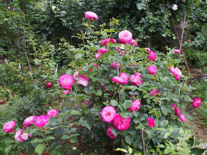 ソフューズパペチュアル、数えてみたら50輪以上咲いています。蕾もたくさん。