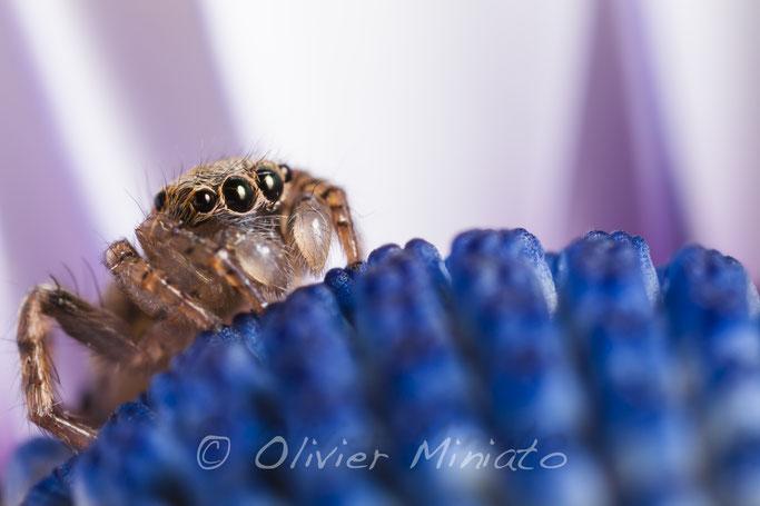 Saitis barbipes. Salticidae © Olivier Miniato