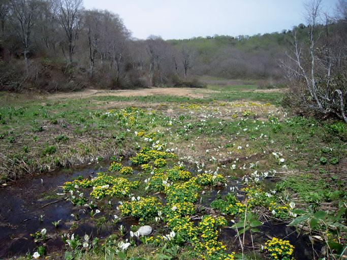 ミズバショウとリュウキンカ咲き乱れる水無湿原。