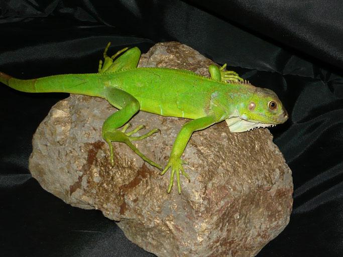 Iguanas crías 2009