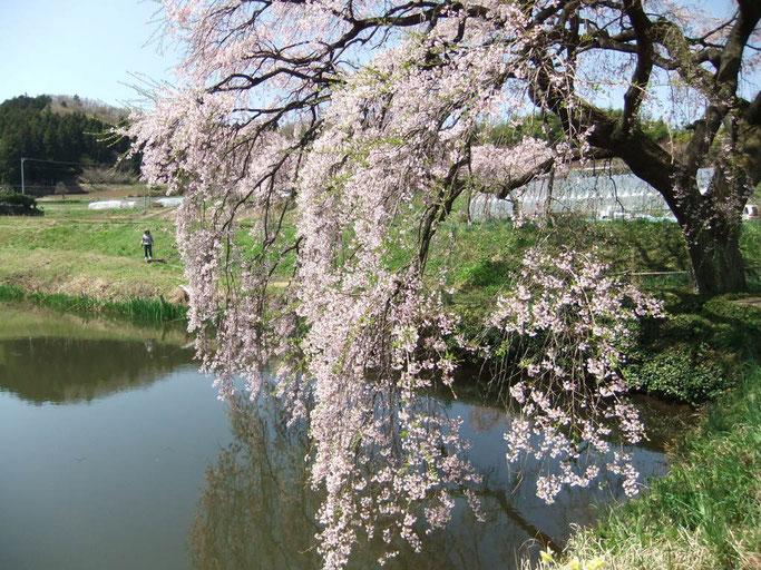 撮影:Miyuki 2012.4.28