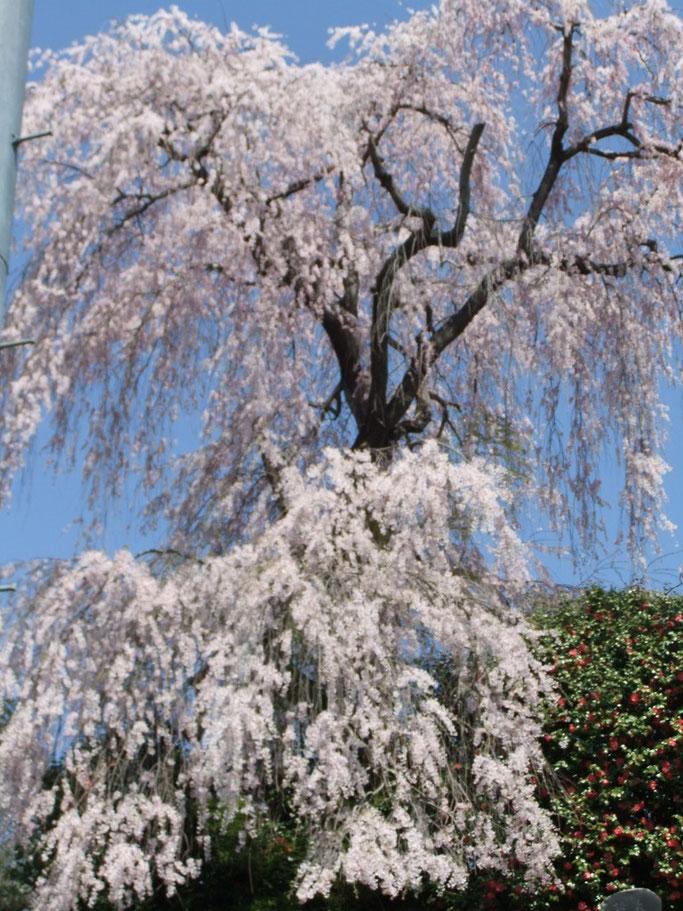 桑折町常称寺の枝垂れ桜