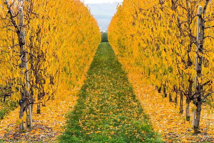 Prospettiva, geometrie e colori di un frutteto in autunno.