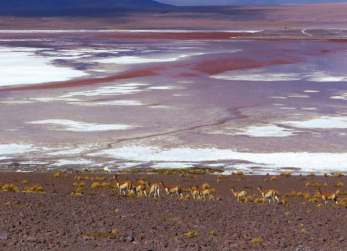 Vikunias an der Laguna Colorada.