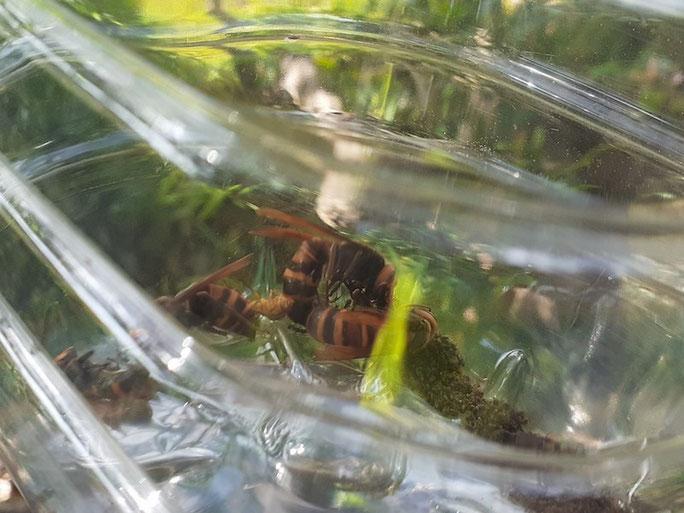 吊るしてから2週間後、液体が無くなったトラップの中。これはオオスズメバチ?キイロスズメバチ?