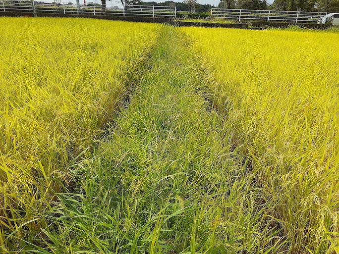 1カ月前は穂も見えなかった稲はあっという間に実り、刈ったはずの畔の雑草はあっという間に伸びる。