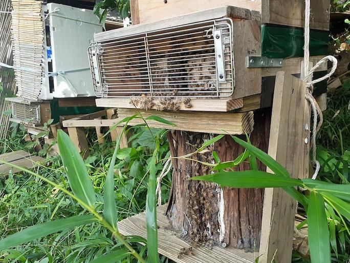 巣の入り口から巣箱につながる木の洞にまでミツバチがびっちり。奥の巣箱には日よけのすだれがかけてある。