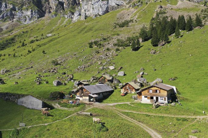 Kuh mit Hörnern steht vor Alphütte auf der Musenalp im Isenthal.