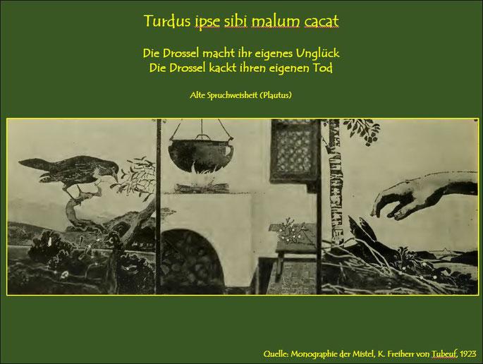 Den zähen Schleim nutzte man zur Herstellung von Vogelleim und zum Vogelfang mittels Leimruten. Einhergehend mit der Verbreitung der Mistel durch Vögel trugen sie gleichzeitig zu ihrem eigenen Tode bei. Siehe obige Zitate.