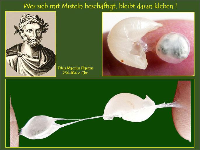 Bereits in der Antike (Plautus) erkannte man die enge Beziehung zwischen Mistelverbreitung und Vögel und beschrieb diese. Die Fotos zeigen die Klebrigkeit des Beeren-Schleims.