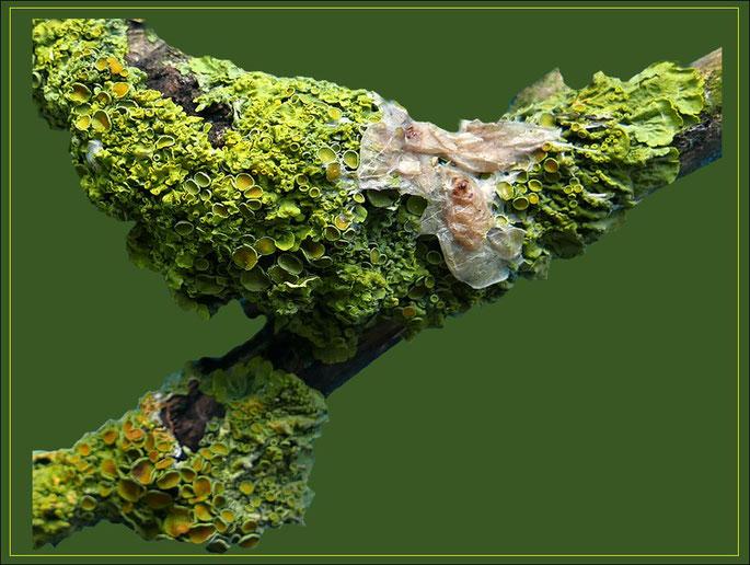 Mit Flechten (Xanthoria parietina) bewachsener Zweig mit den eingetrockneten Rückständen von Mistelbeeren.