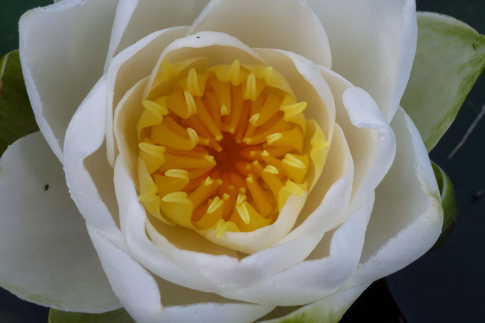 Der Lotus taucht auf aus dem Schlamm, um sich in seiner ganzen Vollkommenheit dem Leben zu öffnen.
