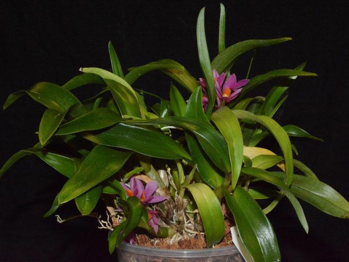 Dendrobium Hibiki (laevifolium x bracteosum)