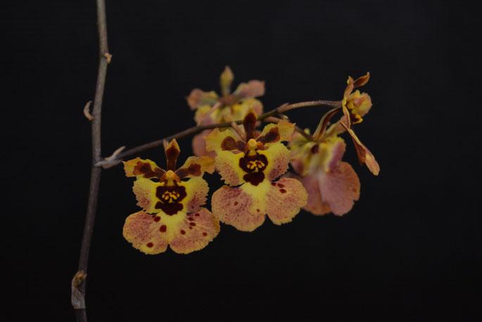 Tolumnia variegatum
