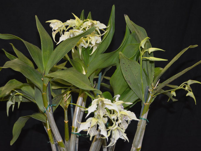 Dendrobium Stephen Batchelor