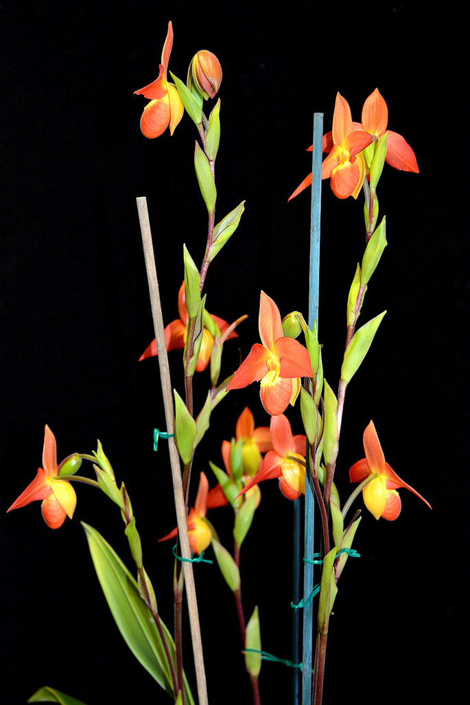 Phragmipedium Don Wimber