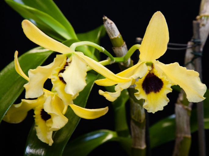 Dendrobium Golden Blossom
