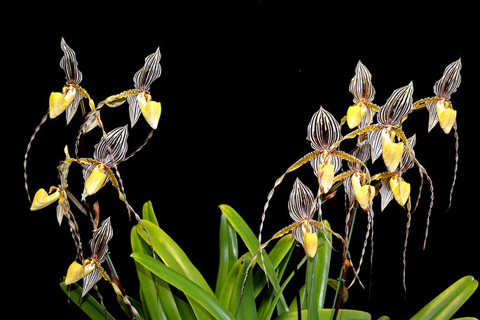 Paphiopedilum Mount Toro 'Watling Hall'