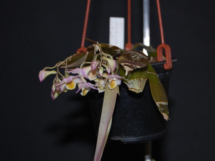 Dendrobium Amethystoglossum x Purpureum