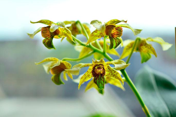 Dendrobium macrophyllum x atroviolacea