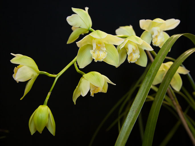 Cymbidium Highland Dimension