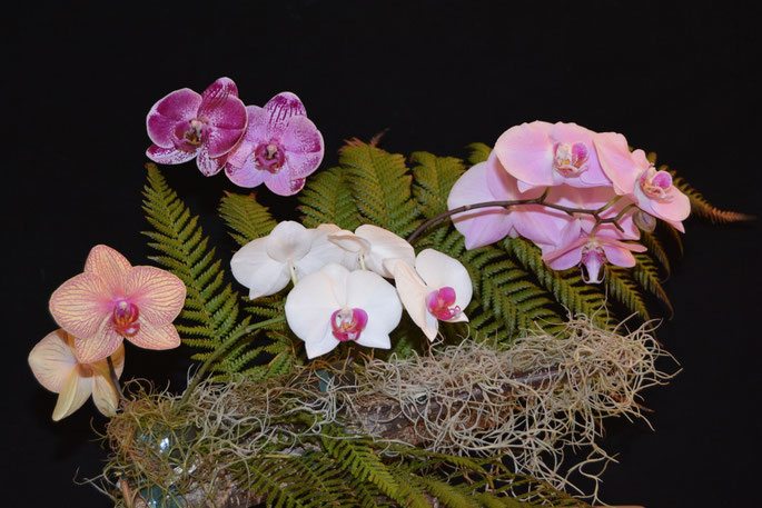 Arrangement of Phalaenopsis hybrids
