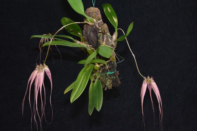 Bulbophyllum ornatisimum