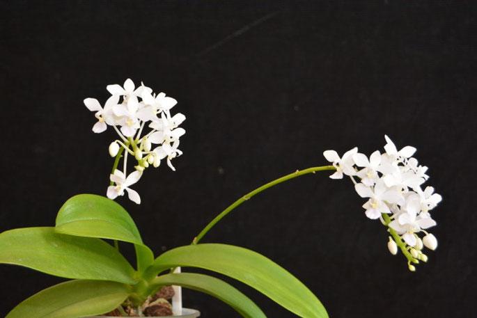 Phalaenopsis equestris alba