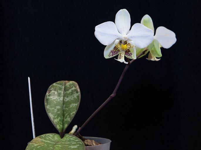 Phalaenopsis stuartiana