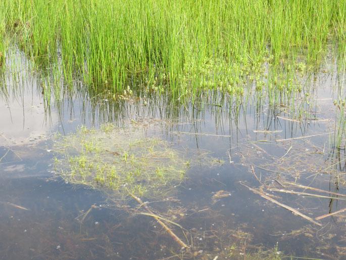 Watervegetatie met Vlottende bies en Moerashertshooi (W2).