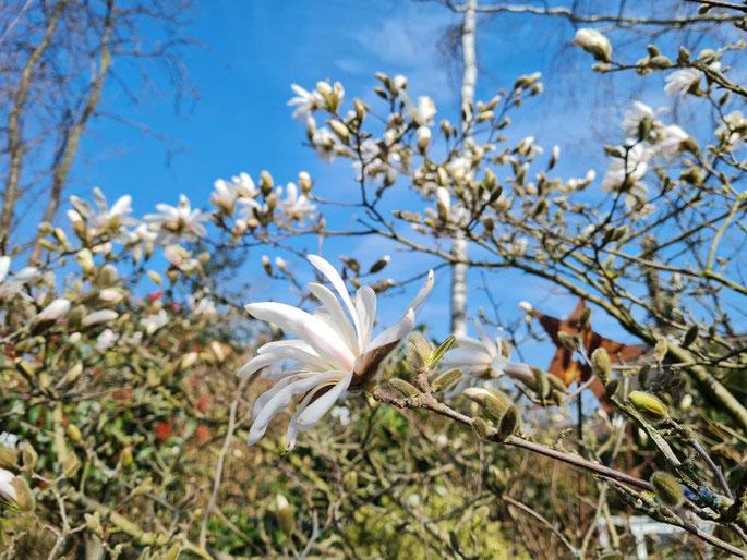 Magnolienblüte - ©wandelsinn