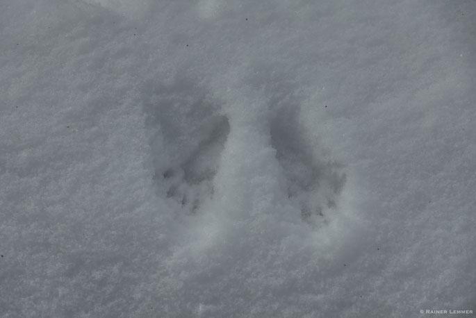 Eichhörnchen Spur im Schnee