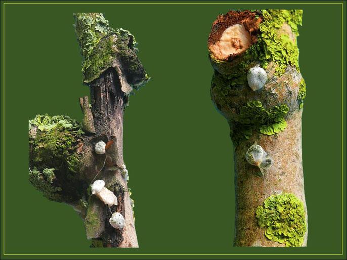 Mit Flechten bewachsene Zweigstücke und duch Vögel angeheftete Mistel-Samen. Optimale Bedingungen zur Keimung sofern es sich um lebende Wirts-Zweige handelt. Der linke Zweig ist abgestorben.
