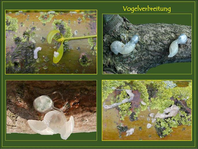Arten der Vogel-Ausbreitung mit Samen nach Darmpassage und Schleim-Rückstände bzw. Anheften von Samen auf Ästen des Wirts.