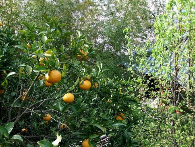 """Des """"mikans"""" ou """"satsuma"""" : grosses mandarines, à l'aspect d'une orange et au goût de pamplemousse..."""